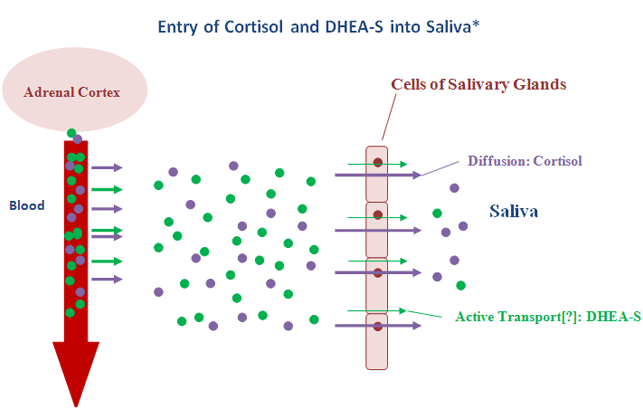 Entry of Cortisol & DHEA-S into Saiva