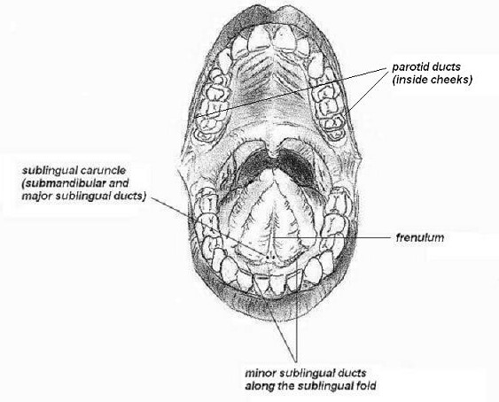Mouth Saliva Ducts