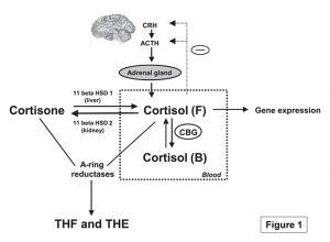 Regulation of Cortisol